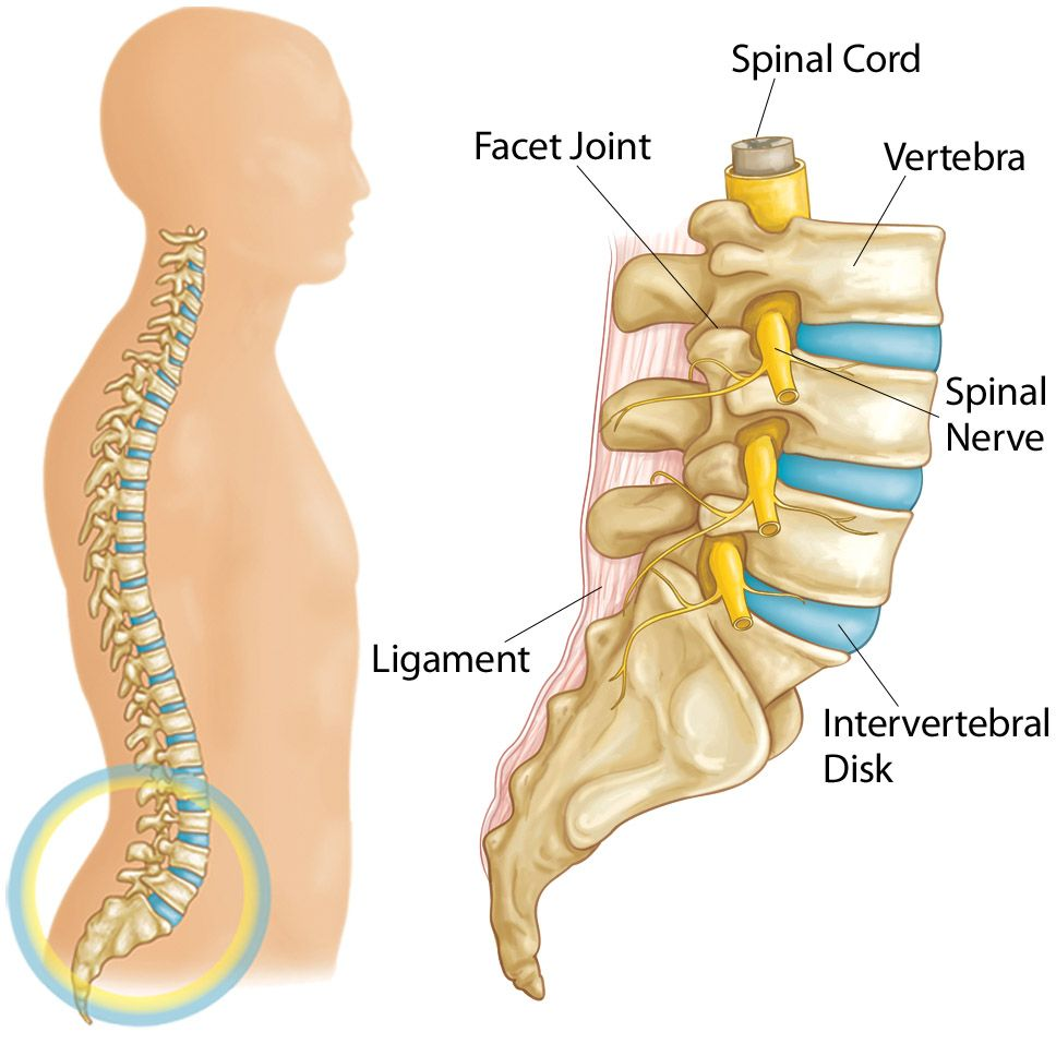 Illustration showing parts of the lumbar spine, including intervertebral disks