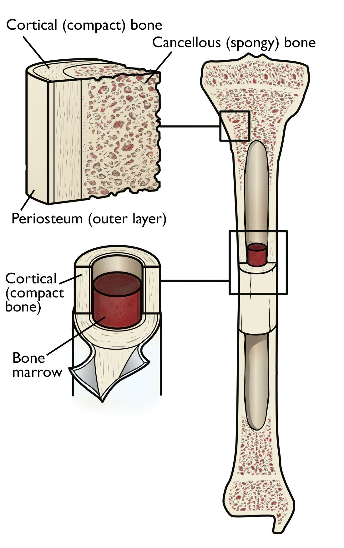 general bone anatomy