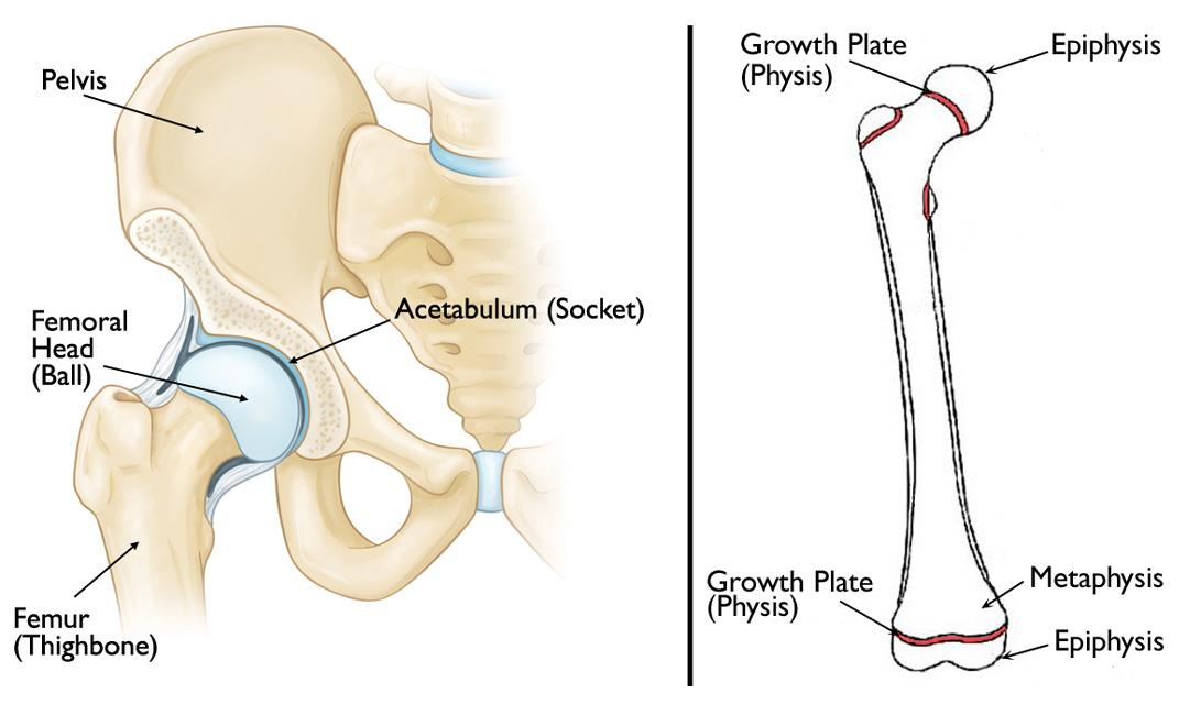 Normal anatomy of the hip