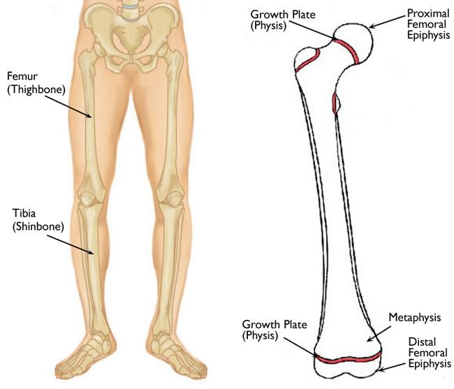 Leg anatomy including the growth plates