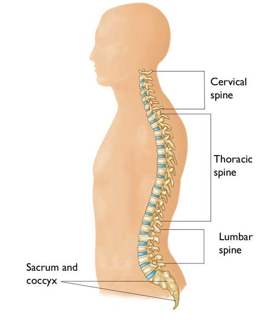 The areas of the spine