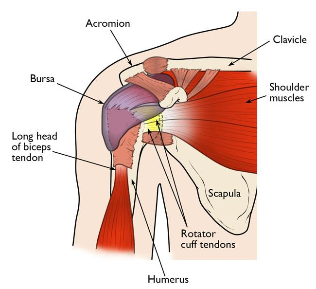 Normal shoulder anatomy, including the rotator cuff