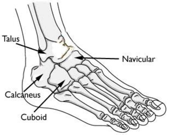 anatomy of hindfoot