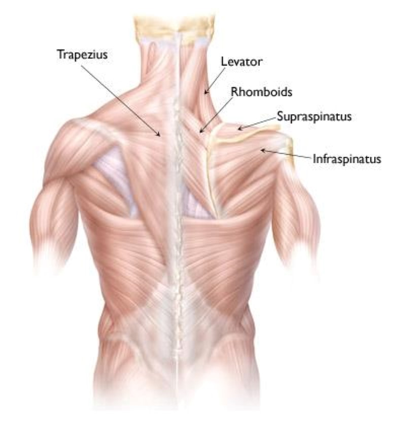 Muscles in the upper back